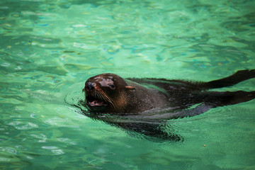 South African Fur Seal, Arctocephalus pusillus
