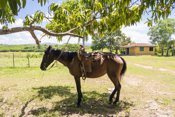 Horse with saddle tied to a tree in farm