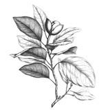 Magnolia engraving