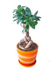 ficus in a pot