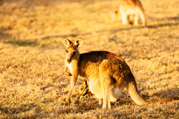 Female kangaroo with little joey
