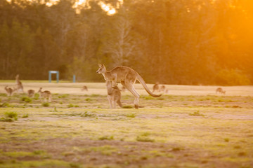 Jumping kangaroo at sunset