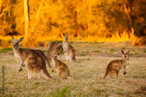 Deurstickers Kangoeroe Herd of kangaroos at twilight