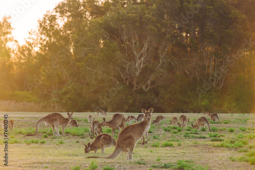 In de dag Kangoeroe Herd of kangaroos at twilight