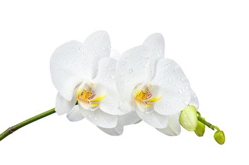 Five day old orchid with water droplets isolated on white.