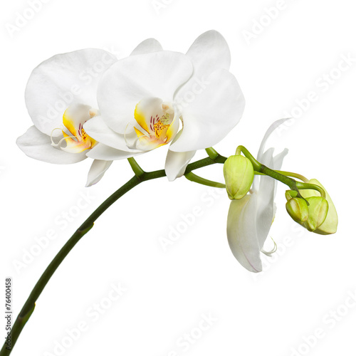 Keuken foto achterwand Lilac Three day old white orchid isolated on white background.