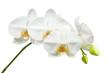 Obrazy na płótnie, fototapety, zdjęcia, fotoobrazy drukowane : Ten day old white orchid isolated on white background.