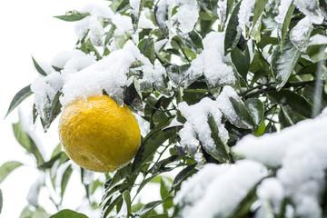 雪の降る夏ミカンの実
