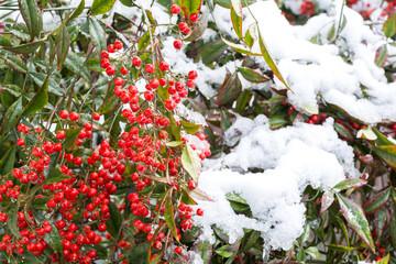 雪の降った南天の実