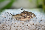 Leopard Cory Corydoras trilineatus catfish aquarium fish