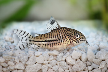 Leopard Cory Corydoras trilineatus catfish aquarium fish