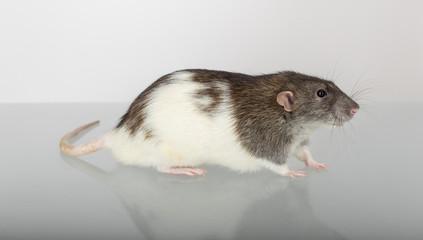 rat in profile