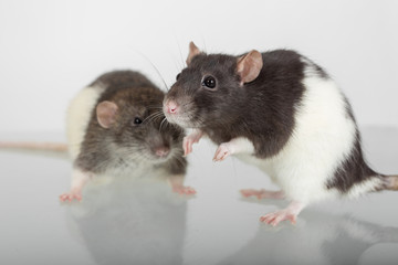 two rats closeup
