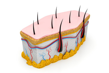 Human skin and hair structure