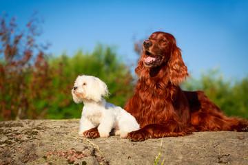 setter and maltese dogs