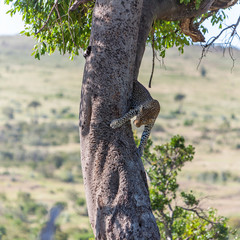 Leopard in big tree