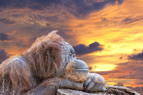 Foto op Canvas Aap orangutan monkey close up portrait