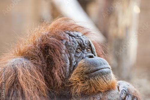Foto op Canvas Aap orangutan monkey close up portrait