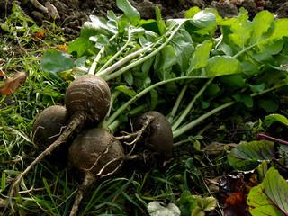 fresh harvested black radishes