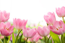 "Постер, картина, фотообои ""Fresh tulip flowers"""