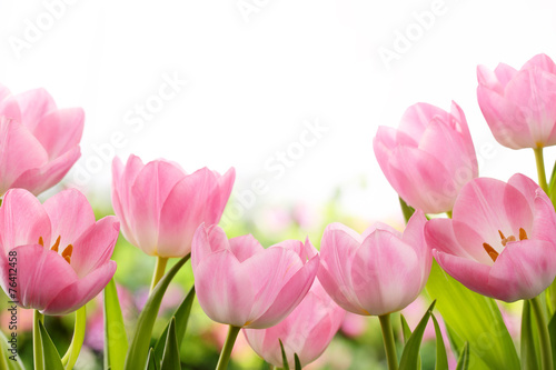 Fresh tulip flowers - 76412458