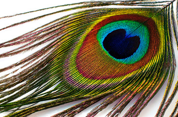 peacock plume  close-up