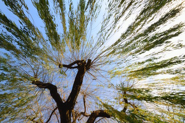 Willow tree against blue sky