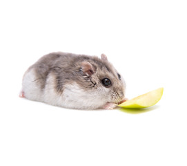 Hamster eats in front of a white background