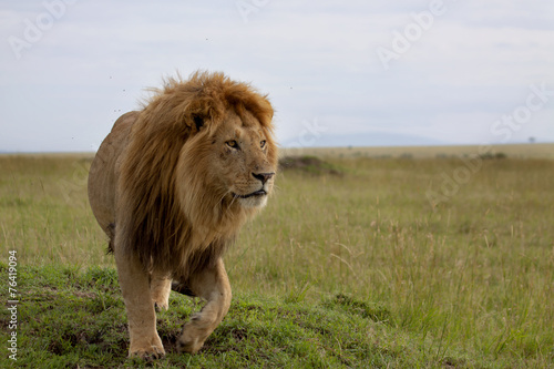 Fotobehang Leeuw The most beautiful Lion of the Masai Mara