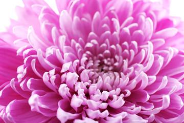 Beautiful chrysanthemum close-up