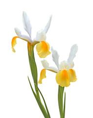 iris jaune de Hollande
