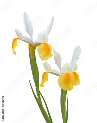 Foto op Canvas Iris iris jaune de Hollande