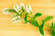 Macro closeup of fresh home-grown mint and mint flower