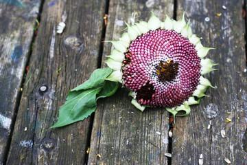 Vogelfutter - Sonnenblumenkerne