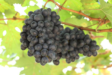 red wine grapes hanging