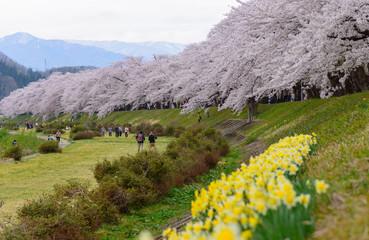 Cherry trees at river side of Hinokinai in Senboku, Akita, Japan