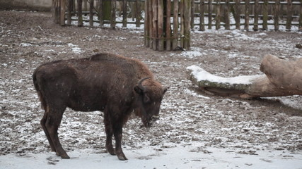 Bison walks under snowfall in the big open-air cage