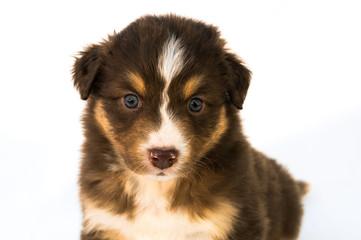 Red Tricolor Australian Shepherd puppy