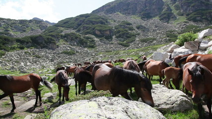 Herd of a free horses grazing on a mountain pasture
