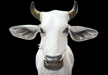 Thailand white cow statue isolated with clipping path
