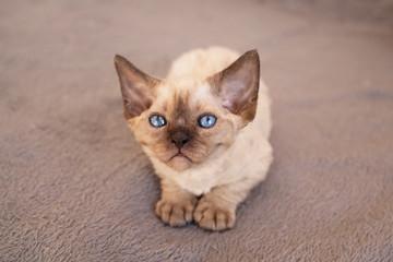 Cute blue eyed Devon Rex kitten