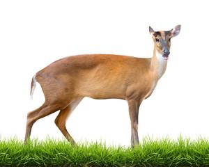barking deer isolated