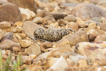 Plover nest and eggs guy, ( Charadrius dubius )