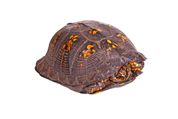 Male eastern box turtle (Terrapene carolina carolina) isolated o