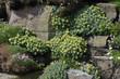 Rhodiola rosea, Orpin rose
