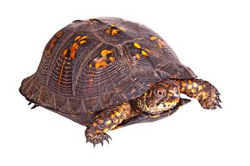 Male eastern box turtle (Terrapene carolina carolina) isolated o