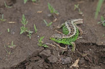 Portrait of green lizard
