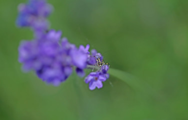 Lavenders close-up  with a little grasshopper