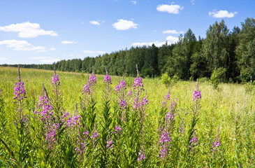 Fireweed flowers in the meadow