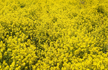 Rapeseed flowers background